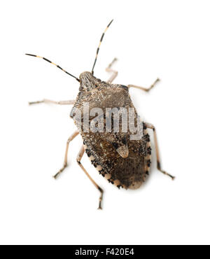Mottled Shield Bug isolated on white - Stock Photo