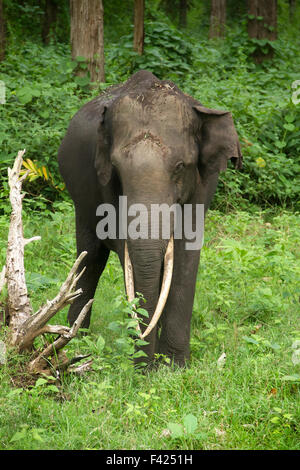 The Indian elephant (Elephas maximus indicus) is one of three recognized subspecies of the Asian elephant and native - Stock Photo