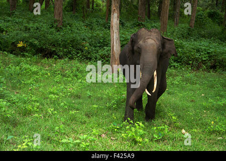 Elephant charging in Bandipur National Park, Karnataka - Stock Photo