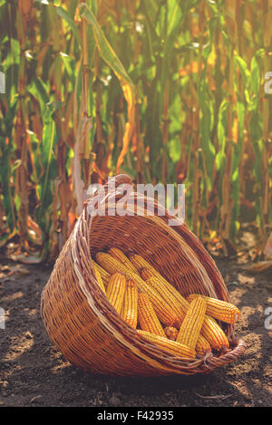 Harvested corn in wicker basket, freshly picked maize ears out in agricultural field, selective focus - Stock Photo