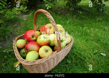 A basket of freshly picked, locally grown English apples at an Apple Day festival in Sheffield, England UK - October - Stock Photo