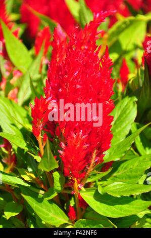 Plumed cockscomb (Celosia argentea) - Stock Photo