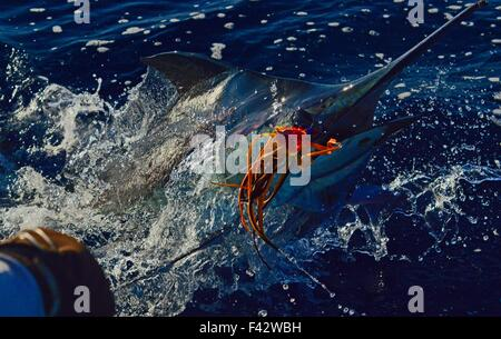Blue marlin being leadered boat side - Stock Photo