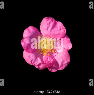 Wild pink rose isolated on black - Stock Photo