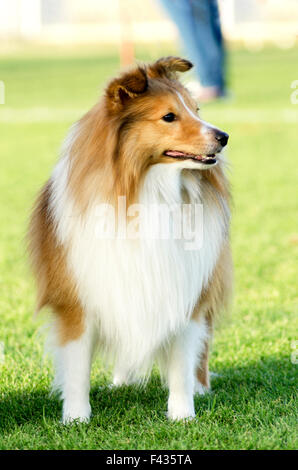A young, beautiful, white and sable Shetland Sheepdog standing on the lawn looking happy and playful. Shetland Sheepdogs - Stock Photo