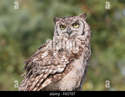 African Spotted Eagle-owl (Bubo africanus), upper body, facing the lens - Stock Photo