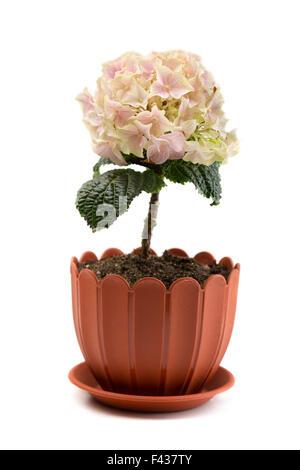 Pink hydrangea in pot on terracotta paved veranda of Spanish villa ...