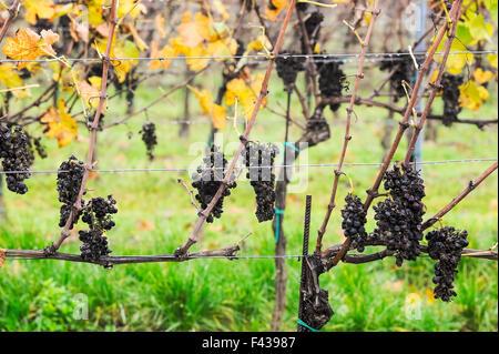 white wine production vineyard rot - Stock Photo