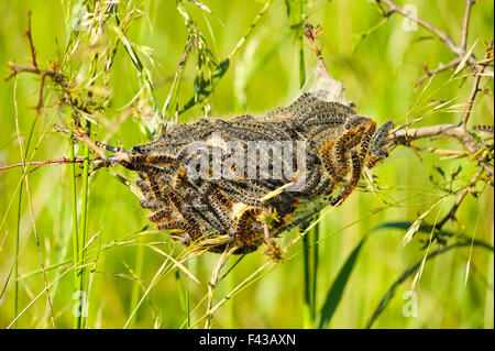 Oak processionary moth nest allergy - Stock Photo