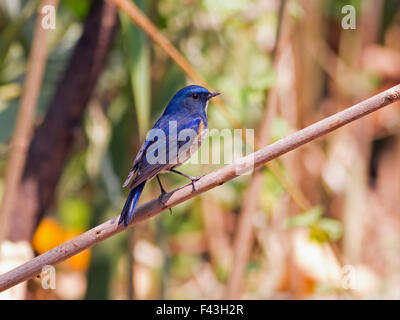 A male Red-flanked Bluetail perched on a small branch close to the forest floor on Doi Sanju in Northern Thailand - Stock Photo