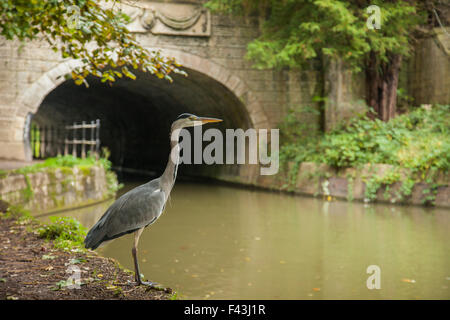 Grey heron hunting at Kennet and Avon canal in Bath, Somerset, England. - Stock Photo