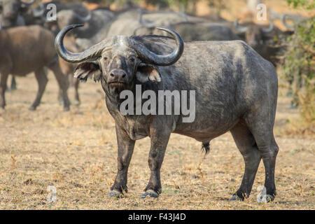 African buffalo (Syncerus caffer), South Luangwa National Park, Sambia - Stock Photo