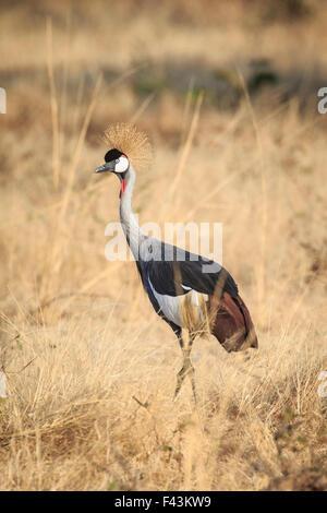 Black crowned crane (Balearica pavonina),  South Luangwa National Park, Sambia - Stock Photo