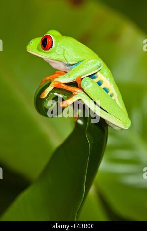 Red-eyed Treefrog (Agalychnis callidryas) on leaf, captive, from South America - Stock Photo