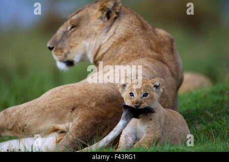 African Lion (Panthera leo) cub aged 1-2 months playing with its mother's tail, Masai Mara National Reserve, Kenya. - Stock Photo