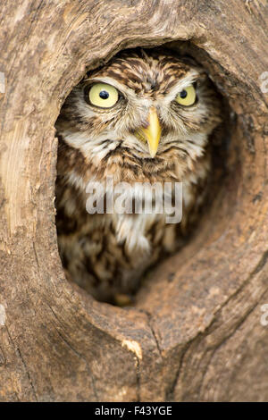Little owl (Athene noctua) peering out of hole in tree, Devon, UK captive - Stock Photo