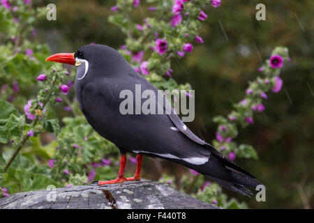 Inca Tern sitting in the rain. - Stock Photo