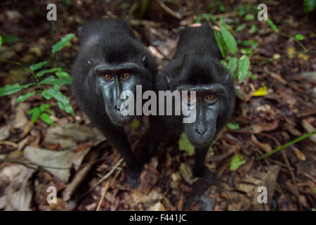 Celebes / Black crested macaque (Macaca nigra)  two juveniles approaching with curiosity, Tangkoko National Park, - Stock Photo
