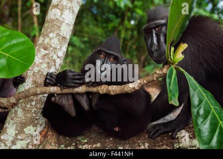 Celebes / Black crested macaque (Macaca nigra)  group sitting on a fallen tree, Tangkoko National Park, Sulawesi, - Stock Photo