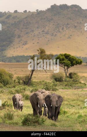 African elephant (Loxodonta africana) herd walking to the river to drink, Masai Mara Game Reserve, Kenya - Stock Photo