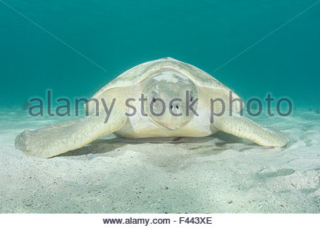 Australian flatback sea turtle, (Natator depressus),  covered with sand it has flipped over itself for camouflage - Stock Photo