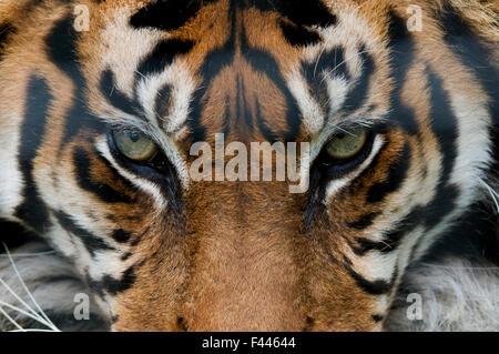 Sumatran tiger (Panthera tigris sumatrae) close-up of eyes, captive Stock Photo