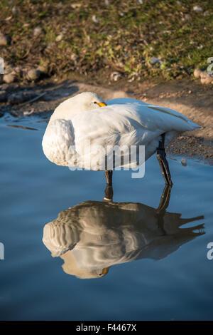 Bewicks Swan (Cygnus columbianus) Sleeping with reflection. - Stock Photo