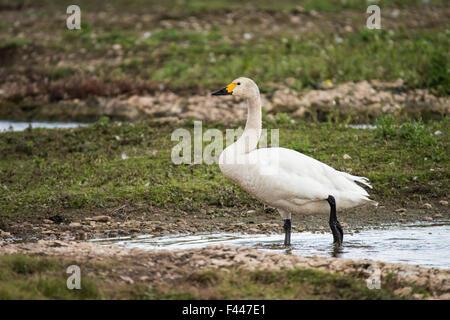 First Bewicks Swan (Cygnus columbianus) Arrives in Slimbridge 2015 - Stock Photo