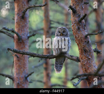 Female Ural Owl (Strix uralensis) perched on pine tree branch. Southern Estonia, May. - Stock Photo