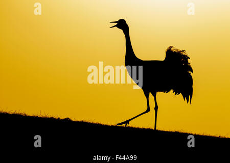 Common / Eurasian crane (Grus grus) calling at sunset, silhouetted. Lake Hornborga, Sweden, April. - Stock Photo