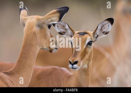 Impala (Aepyceros melampus) females, Masai-Mara Game Reserve, Kenya - Stock Photo