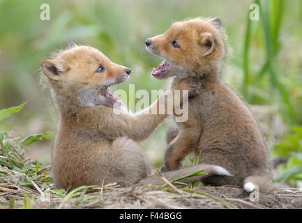 Red Foxes (Vulpes vulpes) young play fighting. Kronotsky Zapovednik Nature Reserve, Kamchatka Peninsula, Russian - Stock Photo