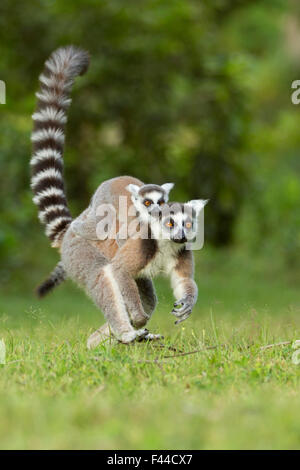 Ringtail Lemur (Lemur catta) mother with baby on back. Madagascar. - Stock Photo