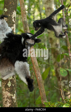 Indri (Indri indri) female with 2 month baby, learning to climb in rainforest habitat. Madagascar. - Stock Photo
