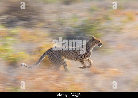 Cheetah (Acinonyx jubatus) running, Kalahari Desert, Botswana. - Stock Photo