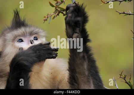 Female Yunnan Snub-nosed monkey (Rhinopithecus bieti) feeding, Tacheng Yunnan snub-nosed monkey National Park, Yunnan, - Stock Photo