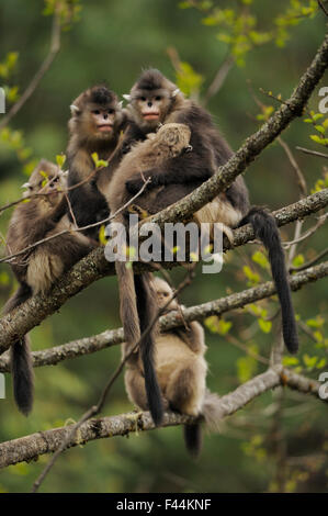 Yunnan Snub-nosed monkey (Rhinopithecus bieti) group with two adults and three babies, Ta Chen NP, Yunnan province, - Stock Photo
