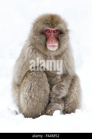 Japanese Macaque (Macaca fuscata) adult sitting in snow with paws stacked, Jigokudani, Japan, January - Stock Photo