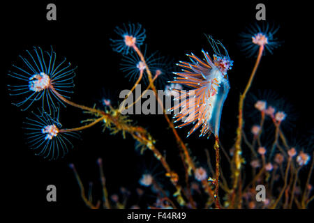 Nudibranch (Flabellina nobilis) feeding on a solitary hydroid (Tubularia indivisa) and laying eggs. Gulen, Bergen, - Stock Photo