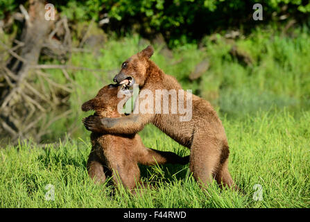 Grizzly bear cubs (Ursus arctos horribilis) play fighting, Khutzeymateen Grizzly Bear Sanctuary, British Columbia, - Stock Photo