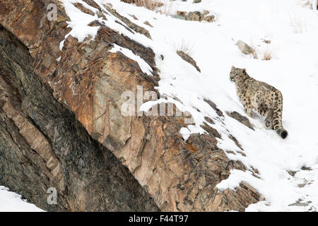 Snow Leopard (Uncia uncia) walking down snow covered slope, Hemas National Park, Ladakh, India - Stock Photo