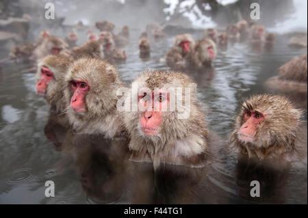 Japanese Macaques (Macaca fuscata) in hot springs, Jigokudani, Nagano Prefecture, Honshu, Japan - Stock Photo