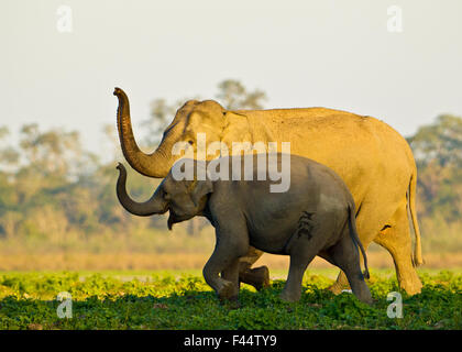 Asiatic elephants (Elephas maximus indicus) sniffing the air as they get close to a water body, Kaziranga National - Stock Photo