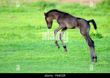 Five day old purebred Andalusian foal (Equus caballus) playing in a field, Alsace, France, May. - Stock Photo
