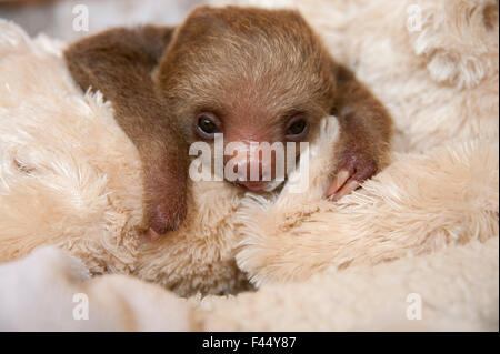 Hoffmann's Two-toed Sloth (Choloepus hoffmanni) orphaned baby with cuddly toy, part of rehabilitation program, Aviarios - Stock Photo