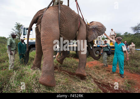 Wild elephant bull, (Loxodonta africana), hoisted into position by crane for vasectomy operation in bush by the - Stock Photo