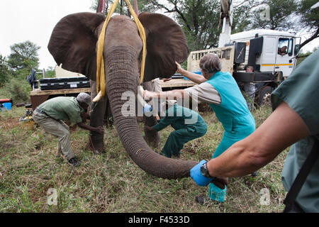 Wild elephant (Loxodonta africana), vas deferens, removed during keyhole surgery  in the bush.  Private game reserve - Stock Photo