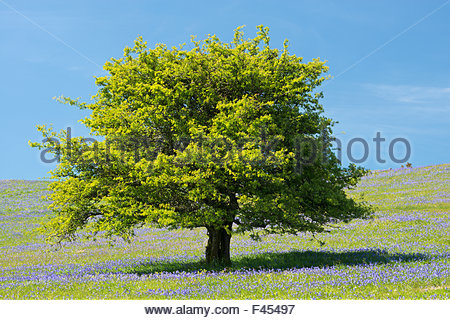 Hawthorn tree (Crataegus) and Bluebells (Hyacinthoides non-scripta) flowering on Holwell Lawn, Dartmoor National - Stock Photo