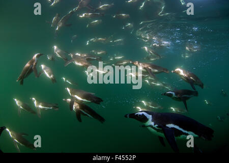 African penguins (Spheniscus demersus) diving underwater, False Bay, Cape Town, South Africa. - Stock Photo