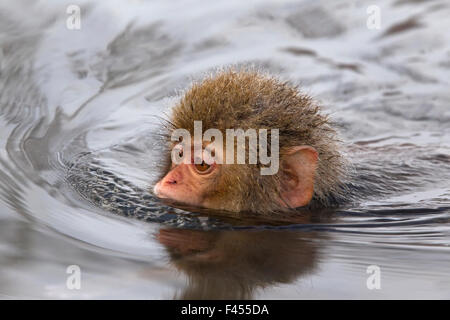 Japanese Macaque (Macaca fuscata) juvenile swimming in hot spring, Jigokudani, Japan. - Stock Photo